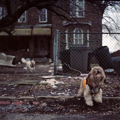 Getting Brave (dans240z) Tags: dog abandoned 120 6x6 tlr film animal analog mediumformat square oakland pittsburgh decay neglected documentary neighborhood analogue leash twinlensreflex rustbelt westernpennsylvania 75mm rolleicordiv kodakportra160nc steeltown pittsburghphotographer danwetmore schneiderxenar dans240z pittsburghcitylimits pittsburghdocumentary steelcityportfolio
