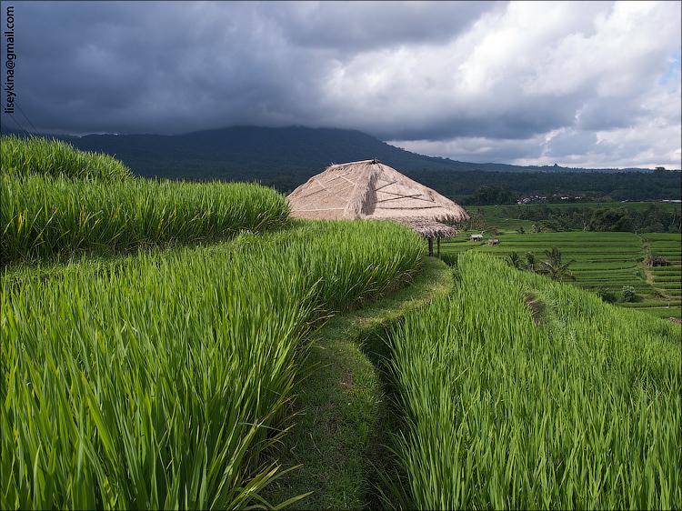 Rice Terraces. Bali