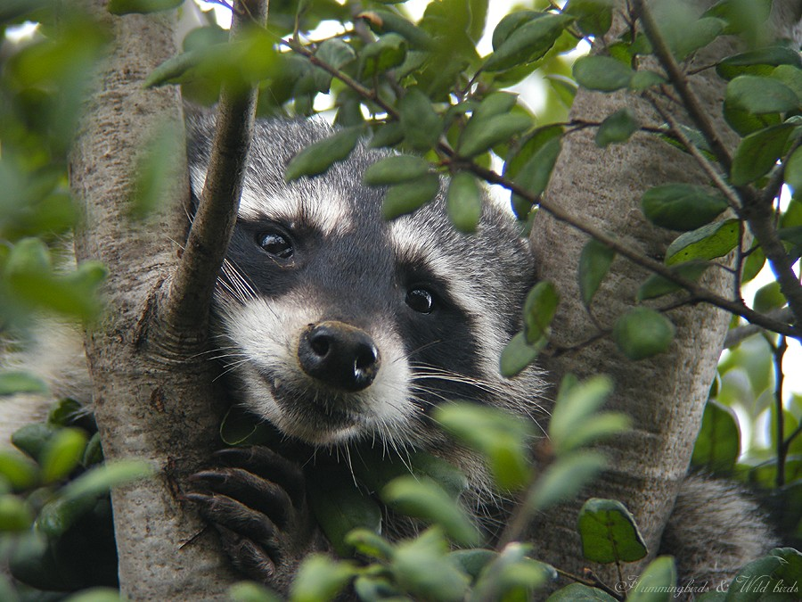 Raccoon 01101
