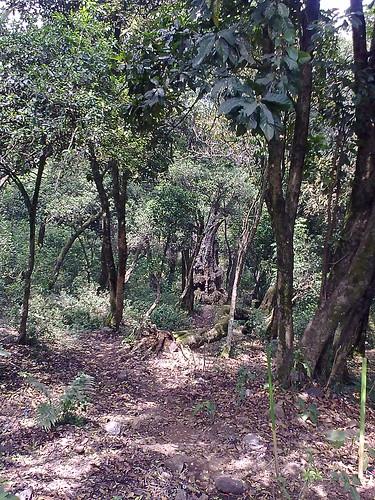 500 year old tree - Kodaikanal