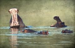 one more... (JuttaMK) Tags: africa texture river yawn botswana chobe hippos 2010 bfgreatesthits mauekay