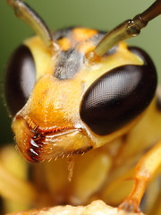 Yellow wasp (Gustavo Mazzarollo) Tags: brazil portrait macro nature yellow closeup canon insect photography jaw natureza extreme fotografia riograndedosul amarela hymenoptera serrated mandibles mpe65mm 580exii geo:country=brazil macrolife taquarivalley friendlyverysmallwaspwithblackcompoundeyesandgreenbackgroundstartinganestbelowaleafwasabletogivestabilitytoittocomposethephotoresultingpictureisafrontalprofileofit