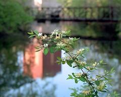 Flowering tree (rexp2) Tags: bridge flower reflection abandoned bokeh dam nikonf100 powerplant depthoffieldstudy nikkormicro105mmf28 kodakektar100