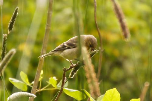 Lesser Goldfinch on Grasshead