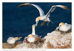 Busy (Hillebrand Breuker) Tags: cliff bird seabird gannets photoworkshop avifauna helgoland pixus hillebrandbreuker