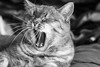 Cat Yawn (Fieldy.) Tags: cat kitty chat neko gato yawn mace katu kот mačka котка gat kočka kat kass kissa katze γάτα macska köttur gatto kaķis katė мачка qattus katt kot pisică кот кіт cath קאַץ կատու pişik বিড়াল 猫 貓 კატა બિલાડી बिल्ली miv ネコ ಬೆಕ್ಕು мысық ឆ្មា 고양이 പൂച്ച मांजर муур ကြောင် බළලා гурба பூனை పిల్లి แมว بلی mushuk conmèo fieldym fieldy matthewfield matthewfieldphotography