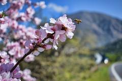 Κρητικός χειμώνας - Cretan winter (Arianeta LIB) Tags: bee crete cretan almond tree flower lasithi kavousi ierapetra mountains road pink blossoms