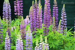 Lupin(e)s, as produced by Mother Nature. (Klaus • infrequently online •) Tags: lupinuspolyphyllus lupinen lupinus wolfsbohne feigbohne lupin lupine lupins lupines blumen flowers fiori flores fleurs फूल bloemen 花 цветы bláthanna blommor kukkia çiçek λουλούδια blomster الزهور bunga цвеће kwiaty hoa פרחים blóm rože bungabunga cvijeće цветя lupiinit ルピナス属 lupinslekta tremoceiro люпи́н lupinsläktet 羽扇豆 tamron tamronsp tamronspaf70300mmf456divcusd