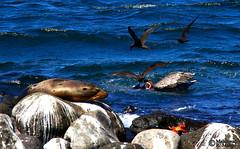 Galapagos Wildlife (Mahmoud R Maheri) Tags: wildlife galapagos galapagosisland ocean pacificocean ecuador seal pelican birds crab shore wild rock water bluewater