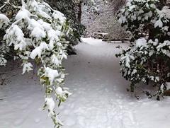 On Winter's Path (FernShade) Tags: vancouver westcoast snow snowscene snowypath winter winterscene stanleypark greigrhododendrongarden urbannature urbantrees