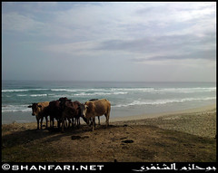 Cows Chillin' at Dhalkut Beach, Dhofar (Shanfari.net) Tags: beach nature cow cows natural ericsson sony beaches oman taurus bos bovidae ssp salala zufar salalah subsp subspecies sultanate dhofar   khareef    primigenius    dufar      governate  dhufar dhalkut c905 dofar  dalkut  dalkoot   dhalkoot thofar thufar