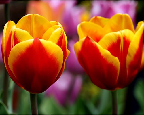 フリー画像| 花/フラワー| チューリップ|         フリー素材|