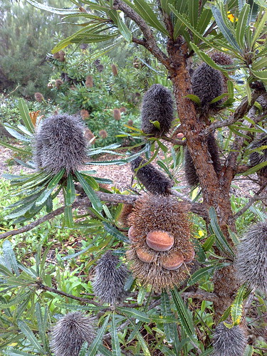 Sleeping banksia men