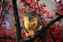 Look What I've Got (matthileo) Tags: red cute animal hands berry topf50 squirrel berries michiganstateuniversity michigan msu eastlansing paws michiganstate