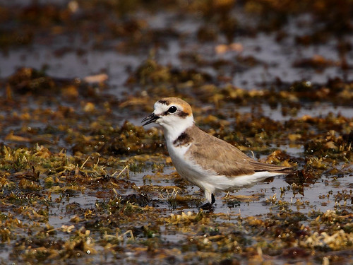 Kentish plovers breed in Nagpur