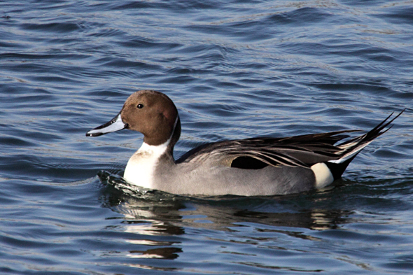 22_northernPintail