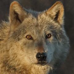 Grey Wolf (Gary Wilson แกรี่ วิลสัน) Tags: ireland nature animal canon photography eos grey photo wolf foto wildlife gray canine 7d lobo lupus greywolf dublinzoo 100400l garywilson canind