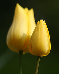 A sunny pair of tulips (Mukumbura) Tags: autumn green wet rain yellow garden spring darkness tulips bright pair solstice miserable soggy damp equinox