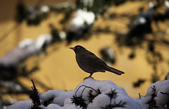 SEASON GREETINGS (fabiogis50) Tags: snow bird nature uccelli turdusmerula blackbird merlo canoneos5dmarkii goldstaraward