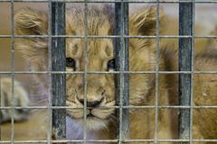 Leeuwenwelpje Naui (Eisbeertje) Tags: animal animals zoo rotterdam blijdorp nikon december lion nederland tierpark dieren 2009 dier tiergarten tier dierentuin leeuw leeuwen tieren naui 24122009