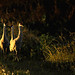 Sandhill Cranes at first light
