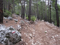 Pine forest above Beycik