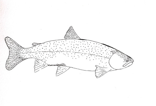 Rainbow Trout Coloring Pages Image Search Results Rainbow Trout Coloring Page