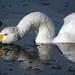 Whooper Swan, Martin Mere January 2010