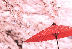 JP-94613 (-R4-) Tags: pink red japan umbrella cherry blossom