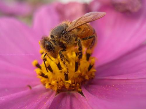 katharine娃娃 拍攝的 17波斯菊上的蜜蜂。