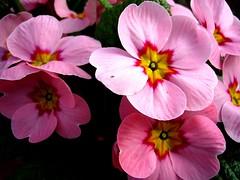 Primel ( doro 51 ) Tags: pink blue spring purple natur blossoms pflanzen rosa lila blau frhling blten fantasticflower flickrsfantasticflowers awesomblossoms