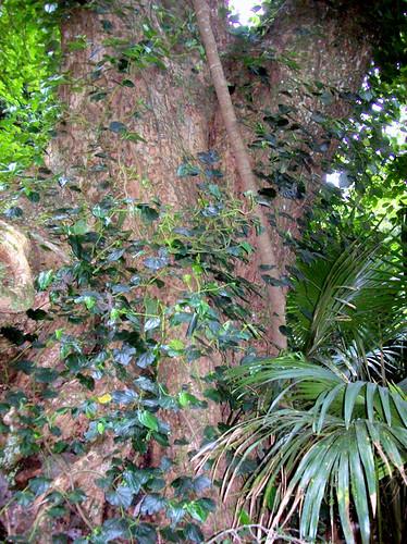 veteran Red Cedar, (Toona ciliata)