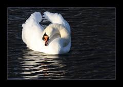 wenn keiner mit mir kuschelt..... (Kerstin Rttgerodt) Tags: white bird swan elegant schwan weiss putzen vogel schnabel rheinaue wasservogel eleganz federn mywinners kerstini rheinaupark