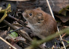 Bank vole (Clethrionomys glareolus) (M.D.Parr) Tags: uk england nature natural britain wildlife norfolk vole mammals martinparr naturephotos voles bankvole natureimages sculthorpemoor clethrionomysglareolus