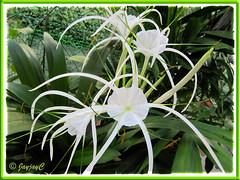 Hymenocallis caribaea (Caribbean Spiderlily, Spider Lily, White Lily)