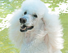 "Love Dogs (Louise Lindsay) Tags: dog pet white public florida poodle keylargo lisette rumi 3610 10favs lovedogs 5210 80views standardpoodlecanicheroyal mywinners 35comments handselectedphotographs ""standardpoodle"" petstandardpoodles rumipoem ""whitedog"" ""petpoodle"" public2010"