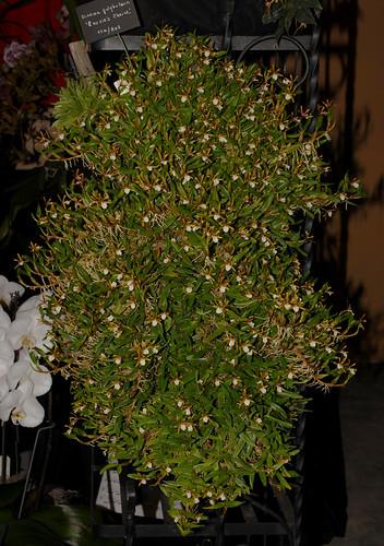 Encyclia polybulbon Laurie's Choice 10-03-11 005