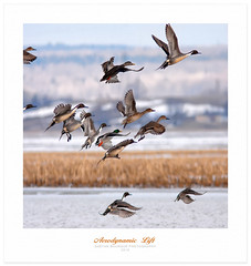 Ducks Unlimited (Imapix) Tags: bird nature animal duck spring mallard ornithology oiseau canard pintail malard northernpintail anatidae ornithologie gaetanbourque oilet canardnoir