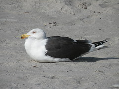 DSCN2465 (liangjinjian) Tags: winter sea usa bird beach animal nikon florida seagull coolpix 2010 cocoabeach  p80