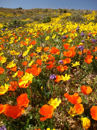 Coreopsis and poppies