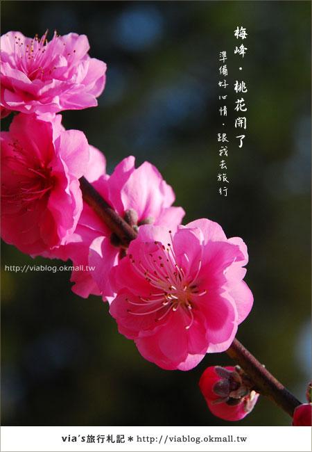 【梅峰農場桃花緣】最美的桃花隧道,就在南投梅峰這裡~(上)4