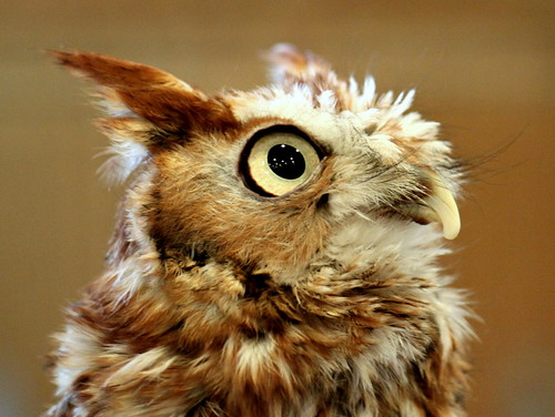 Eastern Screech Owl - close-up