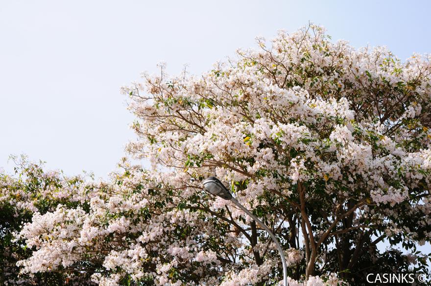 Tabebuia Rosea  风铃木