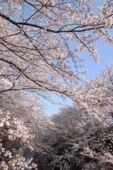 2010.04.06.021 (fotosato) Tags: japan cherry tokyo asia blossoms 桜 日本 東京 アジア