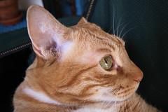 2010_03_24_0073 (BrainPie) Tags: boy orange cats pets man male love animals stripes tabby kitties felines striped mancat