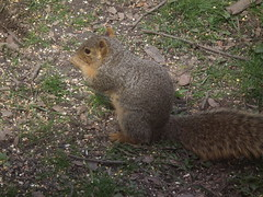 Fox Squirrel Eating RAW to JPG SOOC taken with a FUJiFILM FINEPIX HS10 DSCF1135 (Ted_Roger_Karson) Tags: foxsquirrel handheldcamera hs10 rawtojpg partialzoom cloudyallday fujifilmfinepixhs10 fujihs10