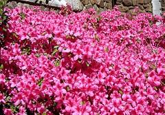 azaleas (CP Shelton) Tags: pink azalea