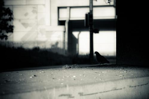 Brrgh Brrgh Pigeon: 31.365 #TeamPhotoBlog by dhgatsby