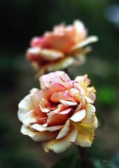 Roses (Jack_from_Paris) Tags: flowers detail fleurs lens 50mm prime bokeh end f20 fanes nikond700 zeissplanar1450mmzf jpr9159d700