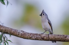 Tufted Titmouse (Flickrtographer) Tags: blue wild bird birds grey backyard raw wildlife beak feeder perched titmouse tufted crested songbird tuftedtitmouse songbirds plumage centralflorida perching backyardbirds wildlifephotography backyardbirding cindybryant sigmaapo150500mmf563dgoshsm nikond7000 backyardbirdphotography photocontesttnc11 dailynaturetnc11 birdstnc11 cindybryantphotography photocontesttnc12 photoofthedaynwf12 cindyjbryant photocontesttnc13